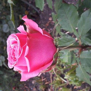 Новая фотография от посетителя к сорту Auguste Renoir – милый и неприхотливый в уходе сорт роз