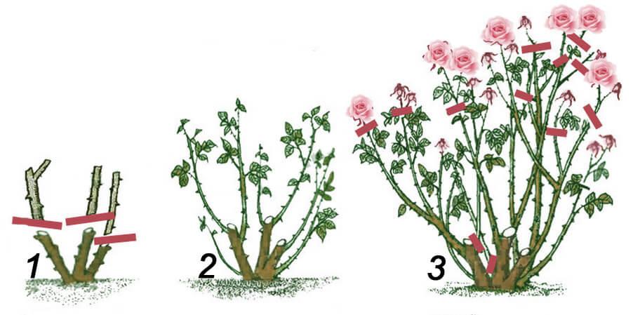 Обрезка молодых кустов роз