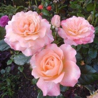 Новая фотография от посетителя к сорту Apricot Clementine — миниатюрная патио роза из Германии