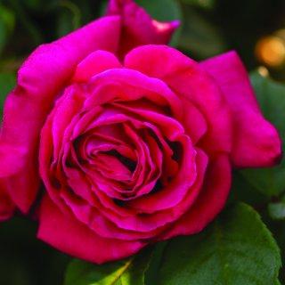 Чайная роза Лолита Лемпика - чувственность и шарм