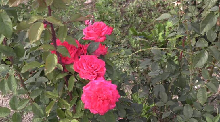 Лолита Лемпика в саду