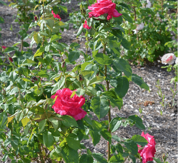 Чайная роза Лолита Лемпика