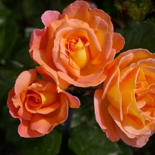 Солнечная роза Розмари Харкнесс (Rosemary Harkness)