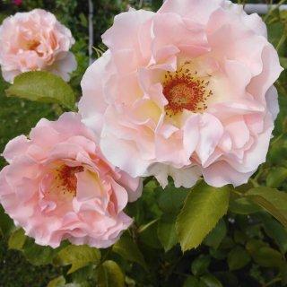 Новая фотография от посетителя к сорту Rokoko — кустарник-шраб с абрикосовыми розами от Tantau