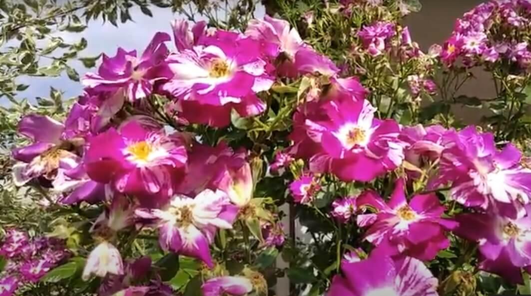 роза Пупурная вспышка