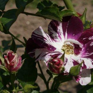 Яркие бабочки розы Перпл Сплэш. Oh Wow, какая красота!