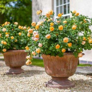 Выращивание роз в контейнере, особенности посадки, ухода и зимовки