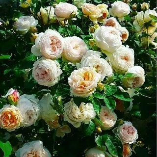 Восхитительный аромат и шарм Эмбридж Роуз. Розы Дэвида Остина