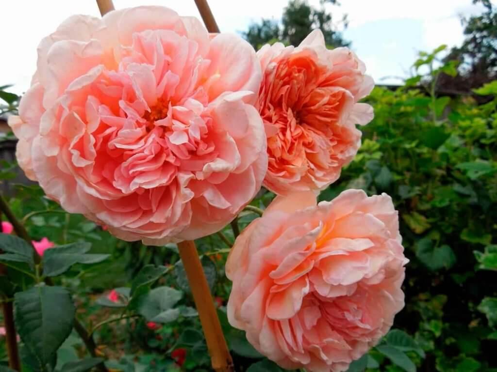 Лепестки роз - источник аромата