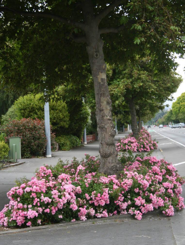 Роза Apple Blossom в ландшафтном дизайне