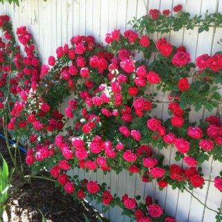 9 ошибок при выращивании роз, которые допускают начинающие розоводы