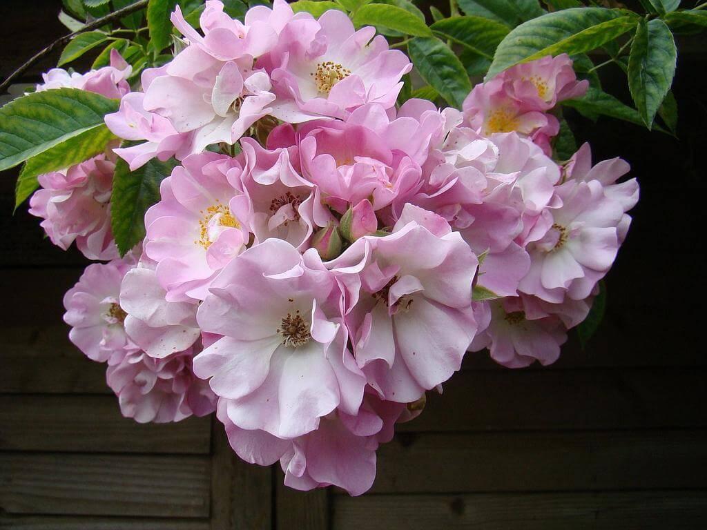 Роза Apple Blossom во время цветения