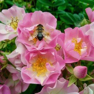 Роза Яблоневый цвет (Apple Blossom)- яркий ковер в вашем саду