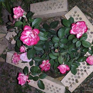 Новая фотография от посетителя к сорту Jubile de Saint-Petersbourg (Юбилей Санкт-Петербурга) — морозоустойчивая двухцветная роза в собственном саду