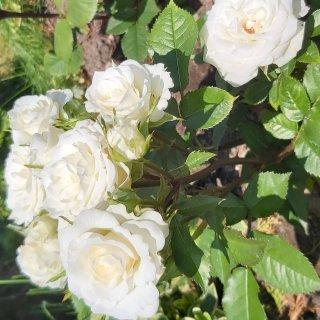 Новая фотография от посетителя к сорту Aspirine Rose — почвопокровная роза патио нежного белого цвета с розовым центром