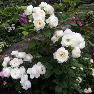 Новая фотография от посетителя к сорту White Bear — чайно-гибридный сорт с крупными цветами и насыщенным ароматом
