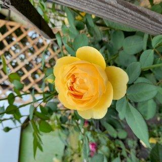 Новая фотография от посетителя к сорту Graham Thomas — английская чайно-гибридная роза с насыщенным ароматом и яркой расцветкой