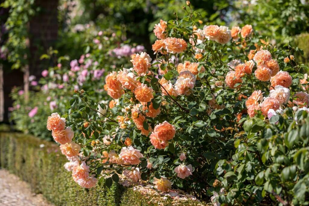 Старинные сорта роз