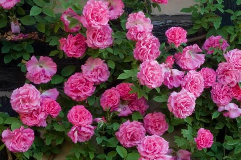 Роза бурбонская