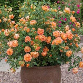 Миниатюрные розы в горшках - азбука выращивания