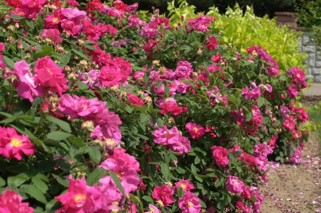 История старинных сортов роз