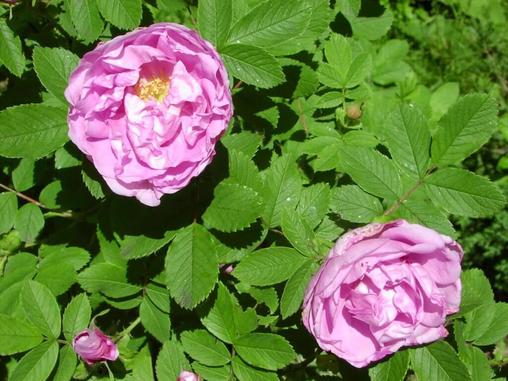 Роза центифолия (Rosa x centifolia)