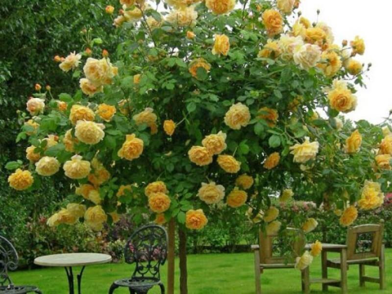 Сорт розы Голден Селебрейшн